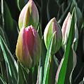 Tulip Series 3 by Edward Sobuta
