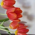Tulip Shadow by Judith Turner