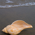 Tulip Shell by Anthony Totah