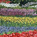 Tulip Tme by Karen Wright
