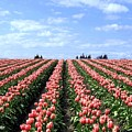 Tulip Town 12 by Will Borden