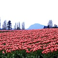 Tulip Town 3 by Will Borden