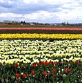Tulip Town 4 by Will Borden