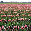 Tulip Town 5 by Will Borden
