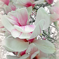Tulip Tree Blossoms - Magnolia Liliiflora by Mother Nature
