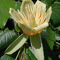 Tulip Tree Flower by Matt Cormons