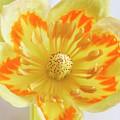 Tulip Tree Flower by Vishwanath Bhat