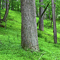 Tulip Tree Woodland by James Brunker