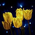 Tulip Twinkle by Tom Mc Nemar