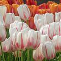 Tulip Wave by Cheryl Schneider