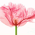 Tulip, X-ray by Ted Kinsman