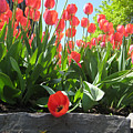 Tulipes Tulipe by Andre Paquin