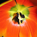 Tulips - An Inside Look by Lucyna A M Green