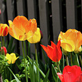 Tulips 1 by Ron St Jean
