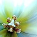 Tulips #12 by Jarmo Honkanen