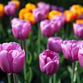 Tulips 14 by Christopher D Elliott