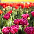 Tulips 2 by Christopher D Elliott