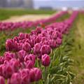 Tulips 2 by Julius Reque