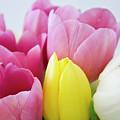 Tulips #3 by Ignacio Leal Orozco