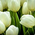 Tulips 4 by Jijo George
