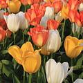 Tulips Ablaze With Color by Dora Sofia Caputo Photographic Design and Fine Art