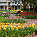 Tulips Abound by Terri Morris