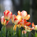 Tulips  by AC Parsons