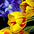 Tulips And Iris by Garry Gay