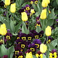 Tulips And Pansies by Mindy Newman