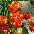Tulips And Rock by PJ Boylan