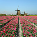 Tulips And Windmills In Holland by IPics Photography