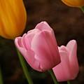 Tulips by Angie Tirado