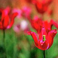 Tulips At Honor Heights by Tamyra Ayles