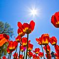 Tulips At Ottawa Tulips Festival by Aqnus Febriyant