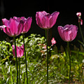 Tulips by Bill Cannon