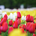 Tulips By Jared Windmuller - Tulip - Red -  by Jared Windmuller