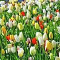 Tulips by Elzbieta Fazel