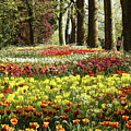 Tulips Everywhere 1 by Rudi Prott
