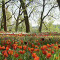 Tulips Everywhere 2 by Rudi Prott
