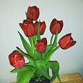 Tulips For You by Lisa Cooley