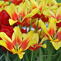Tulips Glorious Tulip Monsella by Debra  Miller