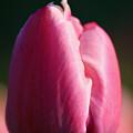 Tulip's Handshake by Susan Herber
