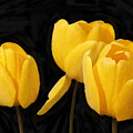 Tulips - Id 16235-220254-2672 by S Lurk