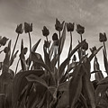 Tulips In Black And White by Bob Stevens
