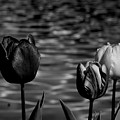 Tulips In Black And White by Yuri Tomashevi