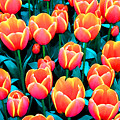Tulips In Holland by Gene Sizemore