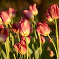 Tulips In Public Garden by Nicole Freedman