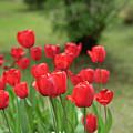 Tulips In Spring 3 by Deborah Brown
