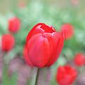 Tulips In Spring 4 by Deborah Brown
