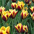 Tulips In The Garden by Jeannie Rhode